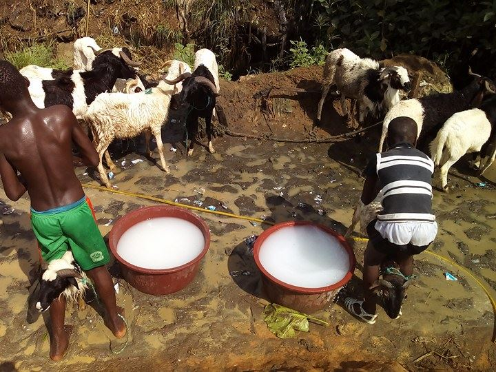 Contrairement à ses amis, installés un plus en contrebas du site qui fixent le toilettage d'un mouton vivant à 250 francs CFA, on peut dire que Mamadou est un veinard.