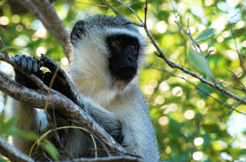 Article : Vidéo : à la découverte de Soko, le village ivoirien des singes